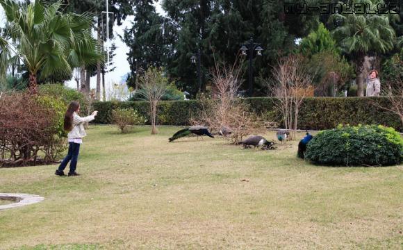 Павлины в Лебедином парке в Кемере.