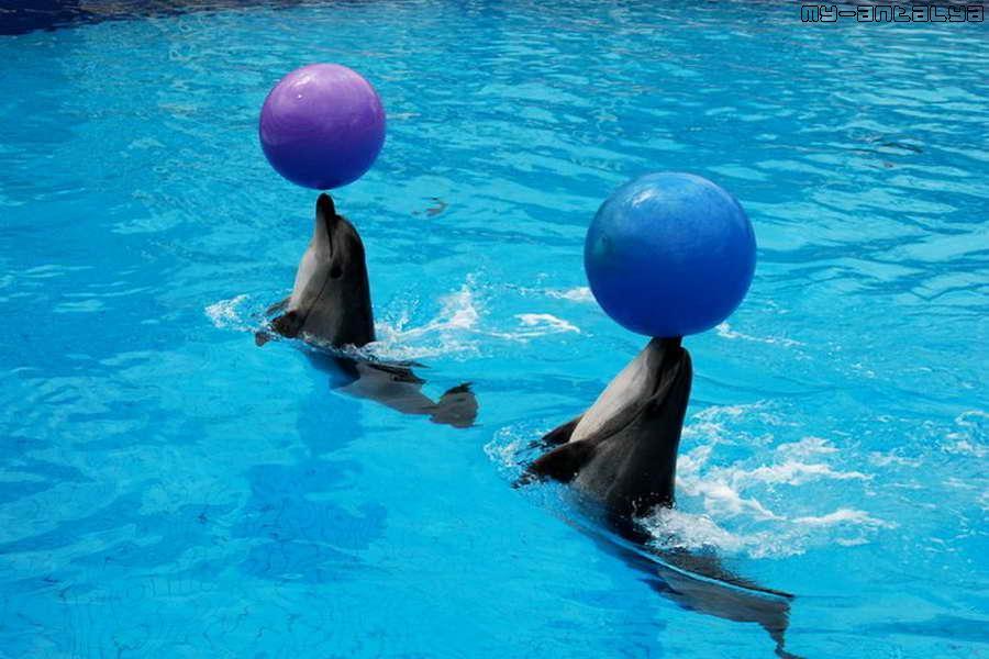 Дельфины умеют держать мячи...