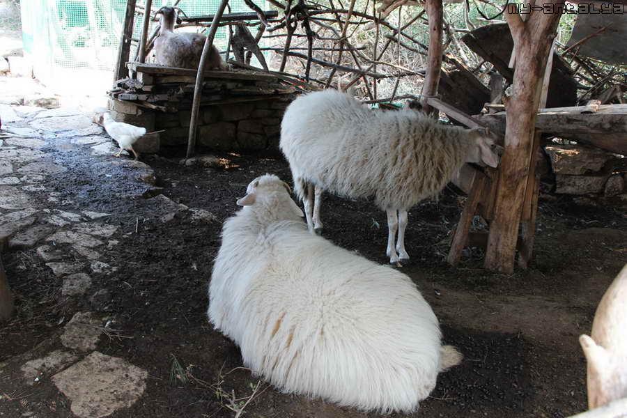 А это небольшой дворик для животных. Здесь есть овцы, куры...