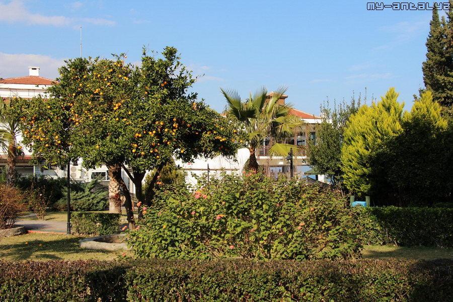 Апельсины созрели... На заднем плане отель Hydros Club HV-1.